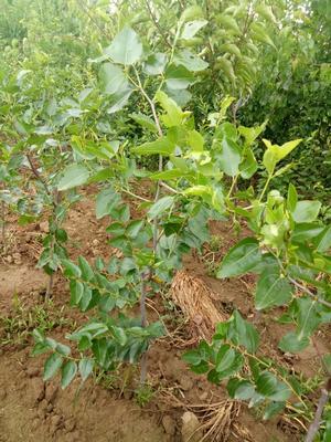 河南驻马店扁桃树苗 0.5~1米