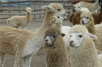 山东济宁秘鲁羊驼 秘鲁,澳洲等各种大小。