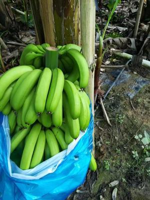 广东惠州广东香蕉1号 50 - 60斤 七成熟