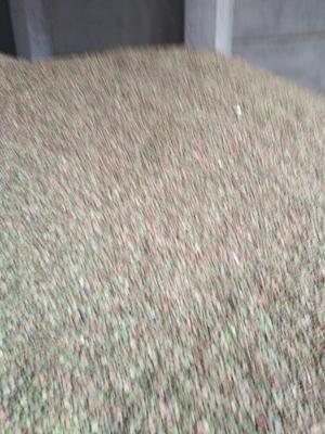 安徽宿州生干蚕豆