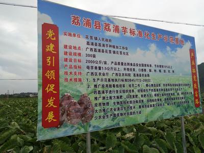 广西桂林荔浦芋头 6cm以上