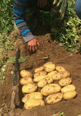 这是一张关于围场马铃薯 3两以上的产品图片