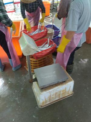 福建漳州带鱼 野生 0.5公斤以下