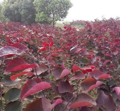 湖南株洲红叶紫荆