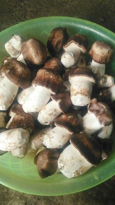 云南文山干巴西菇 散装 1年以上