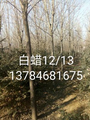 河北唐山老式白蜡 3.5~5米