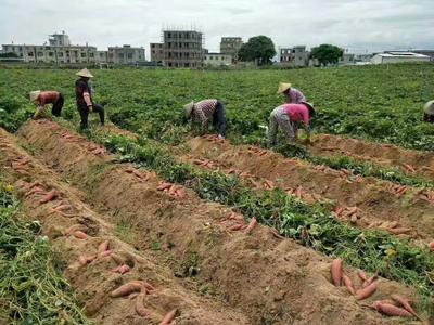 福建漳州沙地红薯 5两以上 红皮