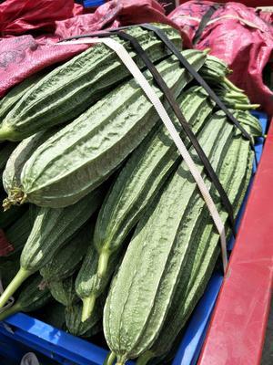 广东阳江肉丝瓜 25cm以上