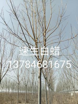 这是一张关于速生白蜡 3.5~5米的产品图片