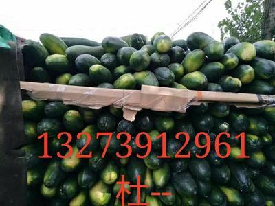 河南省焦作市沁阳市铁冠军冬瓜 20斤以上 黑皮