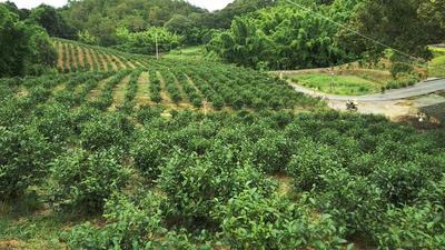 广东河源日照绿茶 袋装 精品包装,有春茶,夏茶,白露茶,冬茶