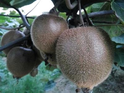 这是一张关于绿心猕猴桃 2两以上 绿心的产品图片