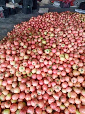 山东潍坊毛粉西红柿 硬粉 弧三以上 打冷