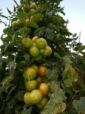 四川攀枝花石头番茄 大红 弧二以上 不打冷
