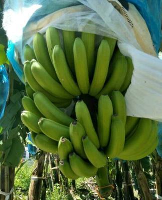 云南红河粉蕉 70斤以上 七成熟 5斤一箱19.9元包邮