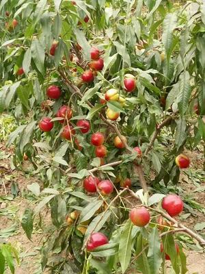 油桃苗 1~1.5米
