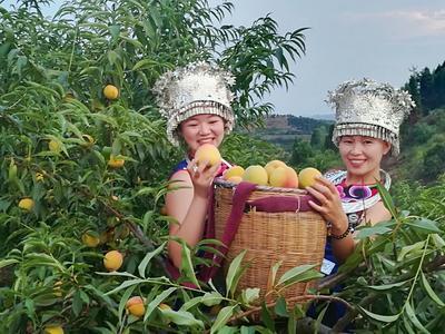 湖南怀化锦绣黄桃 70mm以上 3 - 4两