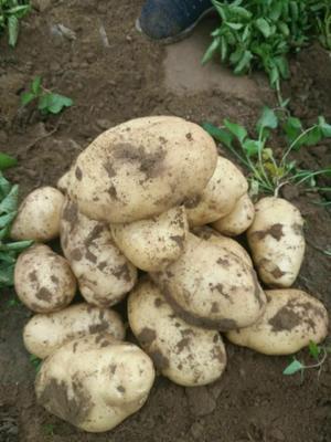 河北承德冀张226土豆 3两以上
