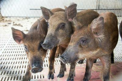 河南信阳特种野猪 母 30-40斤
