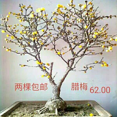 江苏宿迁素心腊梅 0.5~1米