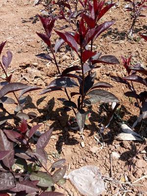 这是一张关于紫叶矮樱的产品图片