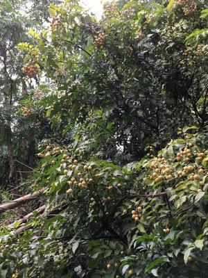 广西壮族自治区桂林市七星区鸡皮果 球型