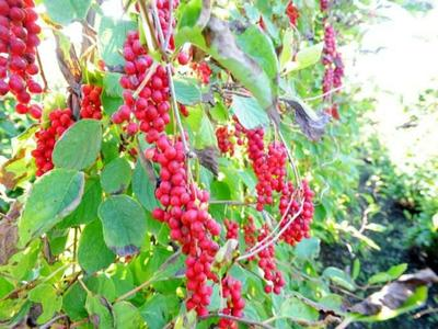 陕西汉中五味子 野生成熟后可以直接食用,也可药用。