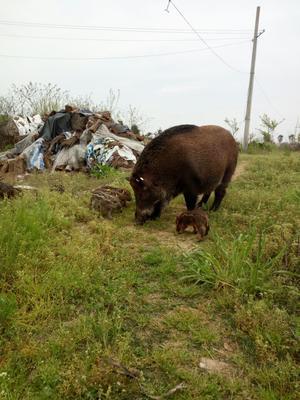 这是一张关于特种野猪 100斤以上 统货的产品图片