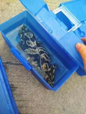 江苏苏州珍珠龙胆石斑鱼 人工殖养 0.5公斤以下