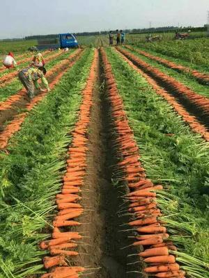 河北承德三红胡萝卜 15cm以上 2两以上 3~4cm