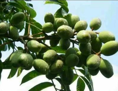四川泸州青榄 10g以上 青橄榄,10g以上