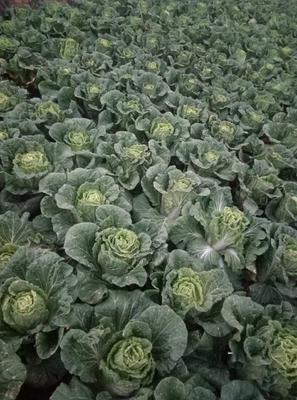 贵州省六盘水市钟山区青麻叶大白菜 3~6斤 毛菜
