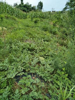 重庆新红宝西瓜 有籽 1茬 10成熟 8斤打底 有机西瓜!