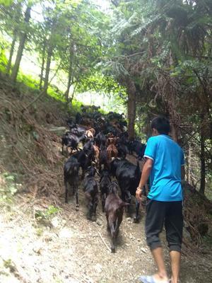 湖南湘西努比亚羊 80-110斤