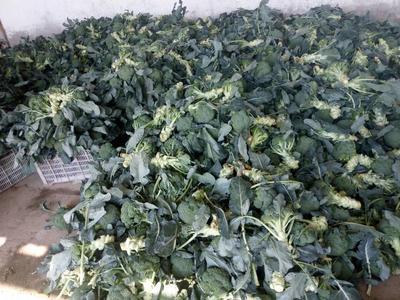 河北省张家口市沽源县耐寒优秀西兰花 1.5~2.0斤 10~15cm