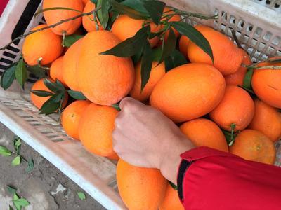 湖北宜昌长虹脐橙 75 - 80mm 4-8两