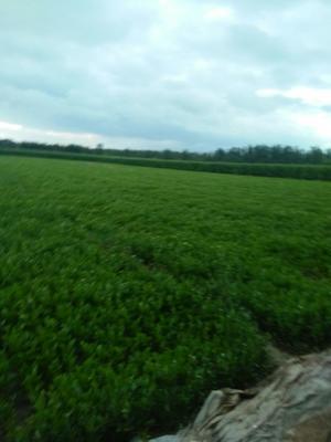 山东省济南市商河县皇妃芹菜 55~60cm 露天种植 1.0~1.5斤