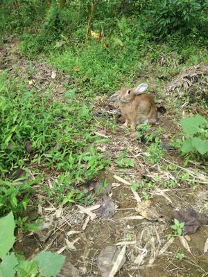 江西赣州比利时兔 5斤以上 比利时种兔