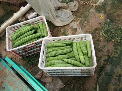 山东潍坊绿苦瓜 2~4两 18-22cm
