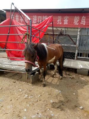 山东菏泽矮马 800-1000斤