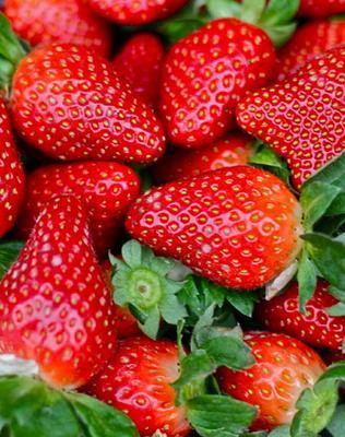 这是一张关于新世纪草莓苗 20~30公分 地栽苗的产品图片