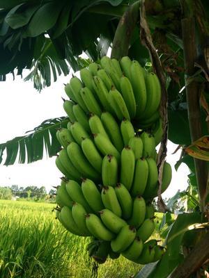 广东惠州广东香蕉1号 60 - 70斤 九成熟