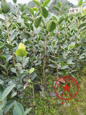 江西吉安长林系列 油茶苗