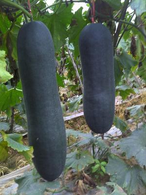 广西柳州黑皮炮弹冬瓜 25斤以上 黑皮