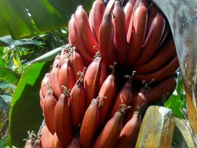广西崇左红蕉 40 - 50斤 八成熟