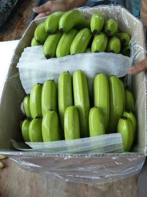 广西崇左威廉斯香蕉 50 - 60斤 七成熟