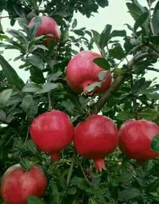 这是一张关于红如意软籽石榴树苗的产品图片
