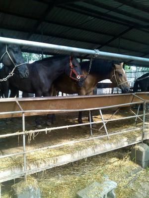 山东济宁矮马 400-600斤