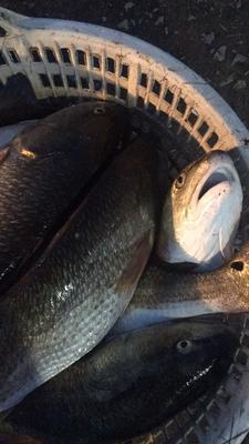广东潮州咸鱼 1个月