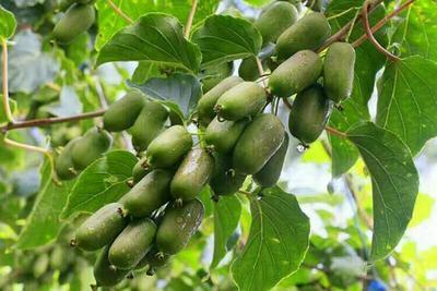辽宁锦州软枣猕猴桃苗 实生苗